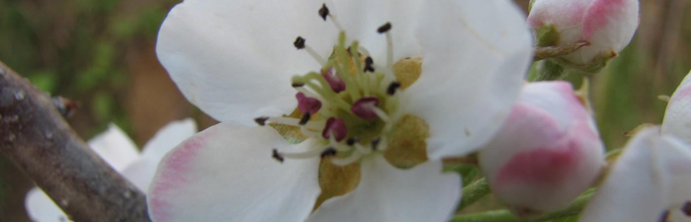 "Yvette: ""Apfelblüte""; Quelle: eigene; Copyright"