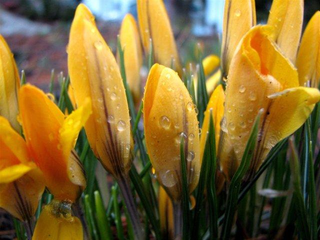 """Audrey: """"Crocus Surprise""""; Quelle: www.piqs.de; Some rights reserved"""